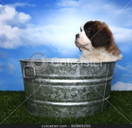 Adorable Saint Bernard Pups  stock photo, Cute and Adorable Saint Bernard Pups  by Katrina Brown