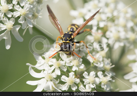 Wasp closeup stock photo, Wasp closeup by abeckman2706