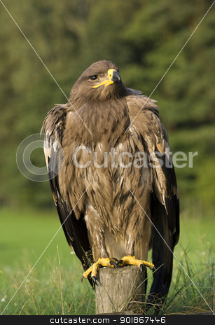 Eagle. stock photo, Bird of prey - eagle (family Accipitridae). by Piotr Skubisz