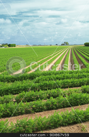 cultivation of carrots in the sand in a field in Normandy stock photo, cultivation of carrots in the sand in a field in Normandy by Chretien