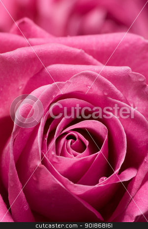 Pink rose. stock photo, Pink rose with few drops of water. by Piotr Skubisz