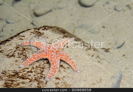 Starfish Underwater stock photo, Orange red and white starfish seen underwater in a tide pool on a sand covered rock along the Oregon coast in the day.