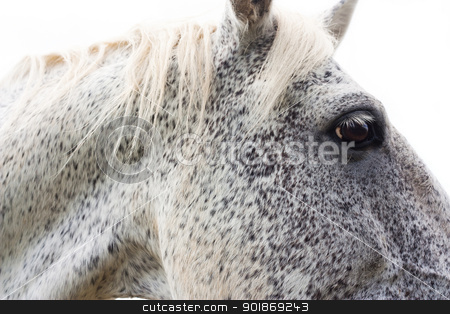Horse head stock photo, Close view of the head of a white horse by tristanbm