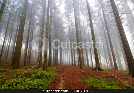 conifer forest in fog stock photo, Image of the conifer forest early in the morning - early morning fog by Siloto
