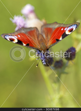 European peacock butterfly stock photo, European peacock butterfly on Brown ray knapweed by Kjersti Jorgensen