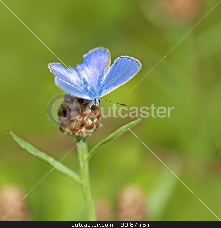 Common blue butterfly stock photo, Common blue butterfly on a brown ray knapweed by Kjersti Jorgensen