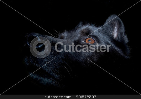 Black alsatian dog against dark background stock photo, Black dog staring up. Lit from the top. Reflection in the eye. Black background. by Kristoffer Pettersson