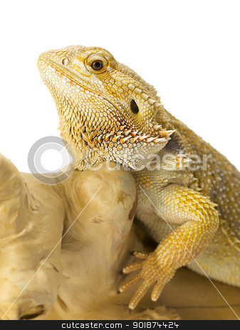 bearded dragon bearded dragon  stock photo, bearded dragon bearded dragon  by Rusu Grigore