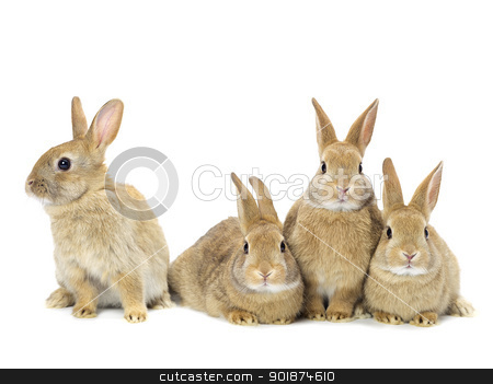 group of rabbits stock photo, group of rabbits by Rusu Grigore
