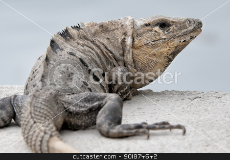 iguana stock photo, iguana by Rusu Grigore