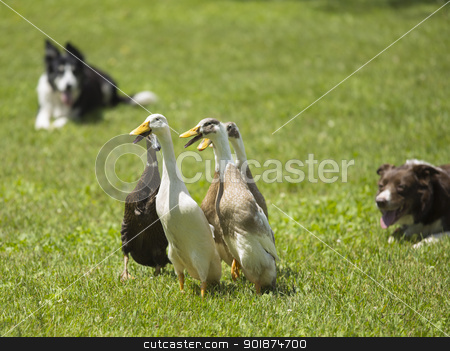 mallard duck playing on the field stock photo, mallard duck playing on the field by Rusu Grigore