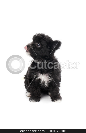shih tzu licking his nose stock photo, shih tzu licking his nose by Rusu Grigore
