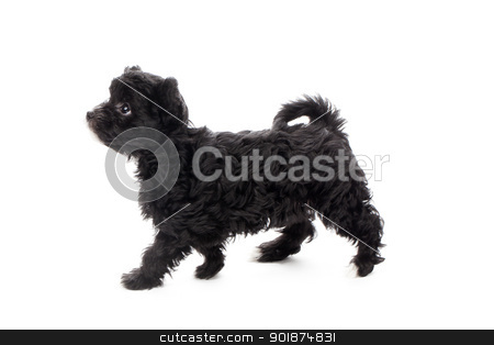 side view of shih tzu walking stock photo, side view of shih tzu walking by Rusu Grigore