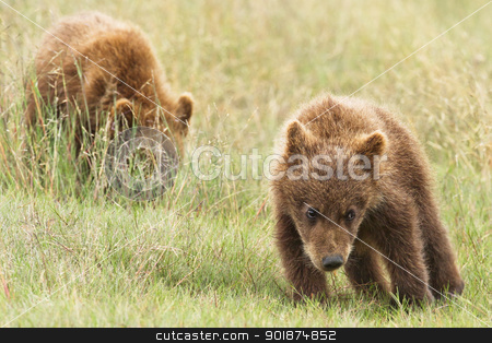 small bear cubs stock photo, small bear cubs by Rusu Grigore