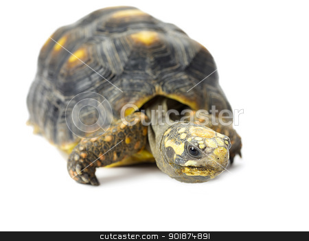 turtle stock photo, turtle by Rusu Grigore