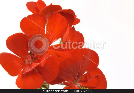 red flowers stock photo, fine image of red flowers isolated on white by metrue