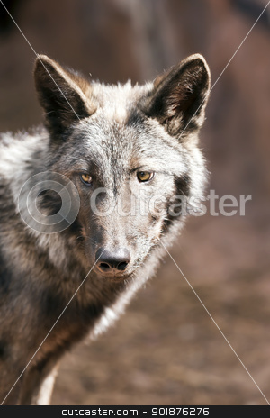 North American Wolf stock photo, Young male North American wolf staring into the distance by Walter Arce
