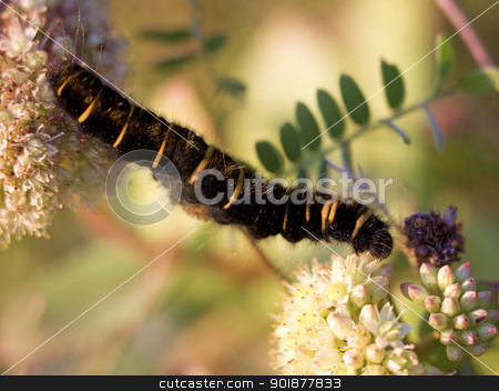Fox Moth larvae stock photo, Fox Moth larvae crawling between Norwegian angelicas by Kjersti Jorgensen
