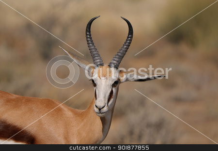 Springbok in the Etosha National Park stock photo, Springbok in the Etosha National Park by Grobler du Preez