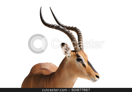 Impala isolated on white stock photo, Male Impala isolated on white background by Grobler du Preez