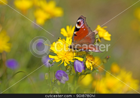 European peacock butterfly stock photo, Close-up of a European peacock butterfly on a dandelion by Kjersti Jorgensen