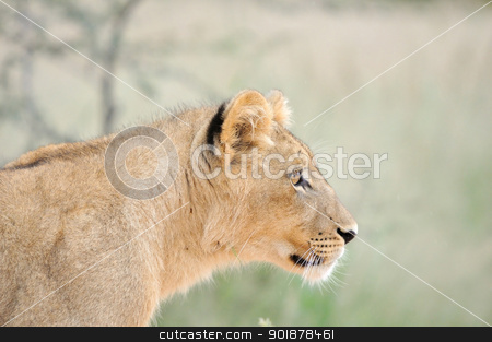 Lion cub in the Kalahari stock photo, A lion cub, Kgalagadi Transfrontier Park. by Grobler du Preez