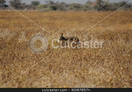 A Cheetah in the Etosha National Park stock photo, A Cheetah, Acinonyx jubatus in the Etosha National Park, Namibia by Grobler du Preez