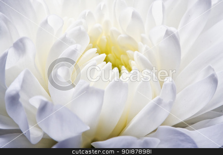 Chrysanthemum stock photo, Beautiful white chrysanthemum close up by Alexey Popov