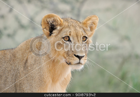 Lion cub in the Kalahari 2 stock photo, A lion cub, Kgalagadi Transfrontier Park. by Grobler du Preez
