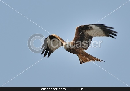 Red kite in flight stock photo, Red kite in flight. by Volker Pape