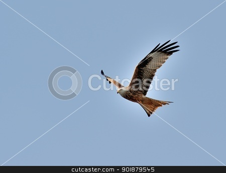 Red kite in flight II stock photo, Red kite in flight. by Volker Pape