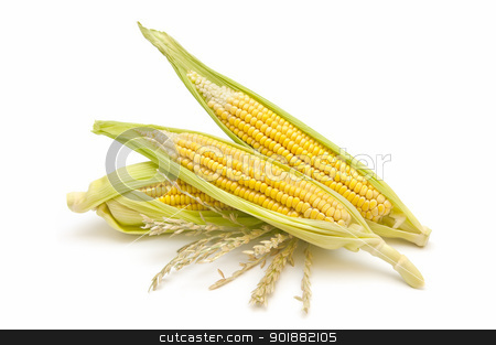 Corn cobs stock photo, freshly harvested corn cobs on white background by luiscar