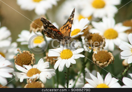 Moth on a Daisy stock photo, a small red and black moth pollinating a daisy in a park in Cotacachi, Ecuador by Robert Hamm