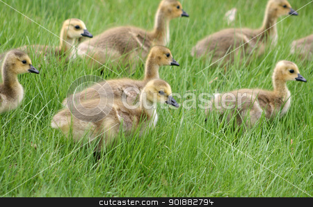 Gaggle of Canada Geese Goslings stock photo, A gaggle of Canada Geese goslings (chicks) walking across a meadow in spring in Winnipeg, Manitoba, Canada by Robert Hamm