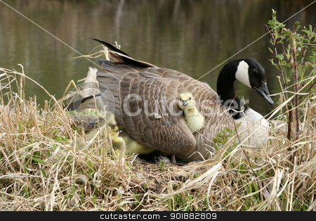 Canada Goose Gosling Getting Comfortable Under a Wiing stock photo, a Canada Goose Gosling getting comfortable under the wing of the mother goose during spring in Winnipeg, Manitoba, Canada by Robert Hamm