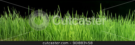 Green Grass Panorama Isolated On Black 101 Megapixels stock photo, Very Long 101 Megapixel High Width Panorama Of Green Grass Close Up Isolated On Black by Matt Jones
