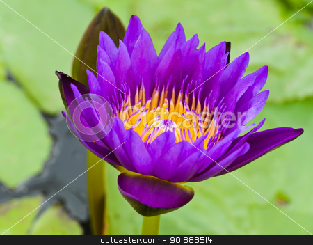 Purple water lilly flower blooming stock photo,  by boonsom