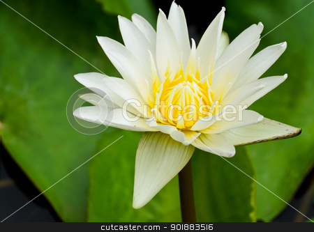 White water lilly flower blooming stock photo,  by boonsom