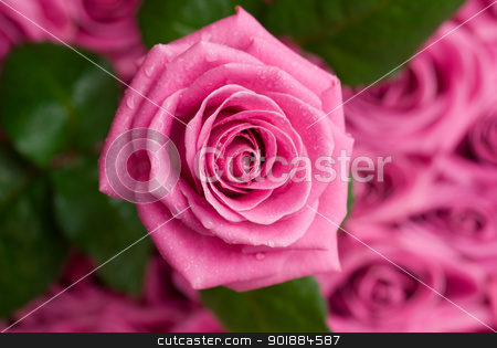 Romantic rose. stock photo, Pink rose with drops of water over other roses and leaves. by Piotr Skubisz