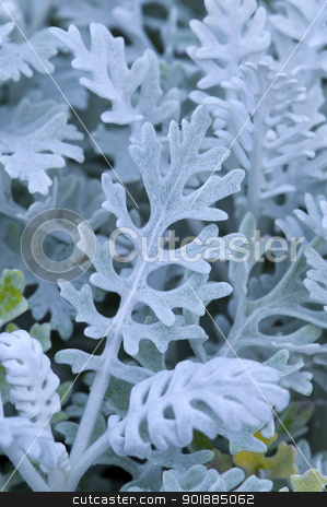 cineraria silver dust stock photo, cineraria silver dust by Lee Avison
