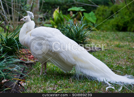 White Peacock stock photo, leucistic white peafowl, white peacock, mutated peacock or peafowl by Katie Smith