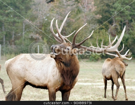 bull elk bugling outdoors stock photo, large bull elk bugling outdoors in wilderness by pasphotogaphy