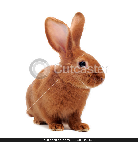 young rabbit stock photo, young rabbit sitting in front of white background by Bonzami Emmanuelle