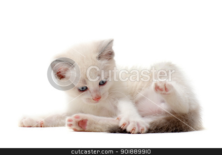 playing Siamese kitten stock photo, beautiful playing  siamese kitten in front of white background by Bonzami Emmanuelle