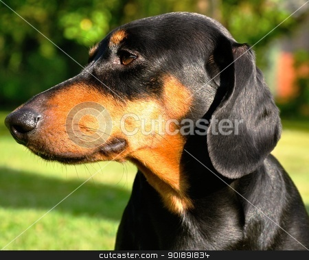 Dachshund stock photo, Beautiful view of the small black dachshund by Ondrej Vladyka