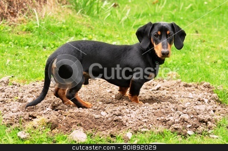 Dachshund stock photo, Black dachshund gardener by Ondrej Vladyka