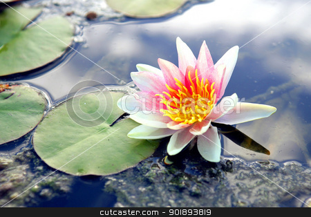 Lilly pad flowers stock photo, Lilly pad flowers by photography33