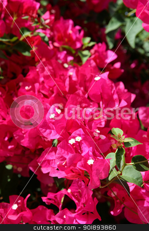 Bougainvillea stock photo, Bougainvillea by photography33