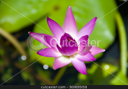 Pink lotus stock photo, Pink lotus by jukree