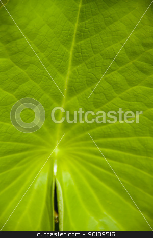 lotus leaf green background stock photo, lotus leaf green background by jukree